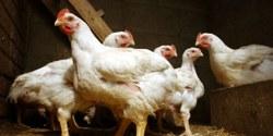 Grippe aviaire : le confinement obligatoire reste de vigueur